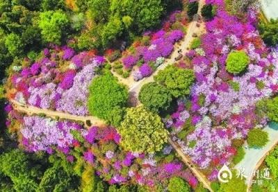 春风托杜鹃 一声啼处满山红 泉州多地杜鹃花进入盛花期